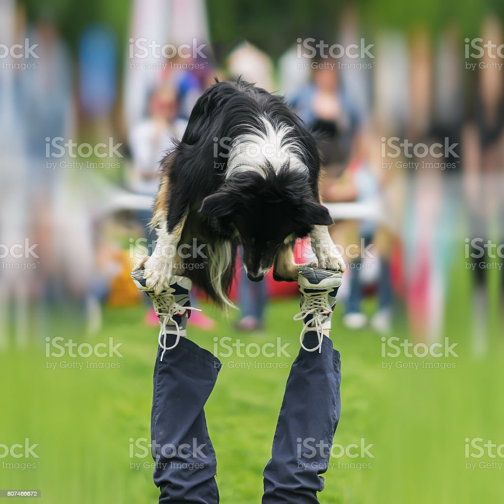 Dexterous performance of capable dog with owner. Almost circus acrobatic stunt. Concept of friendship between man and dog. Happiness in motion, sports training, show stock photo