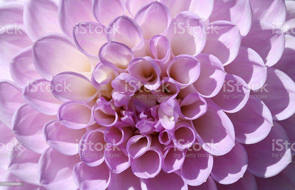 Dhalia Flower Macro royalty-free stock photo