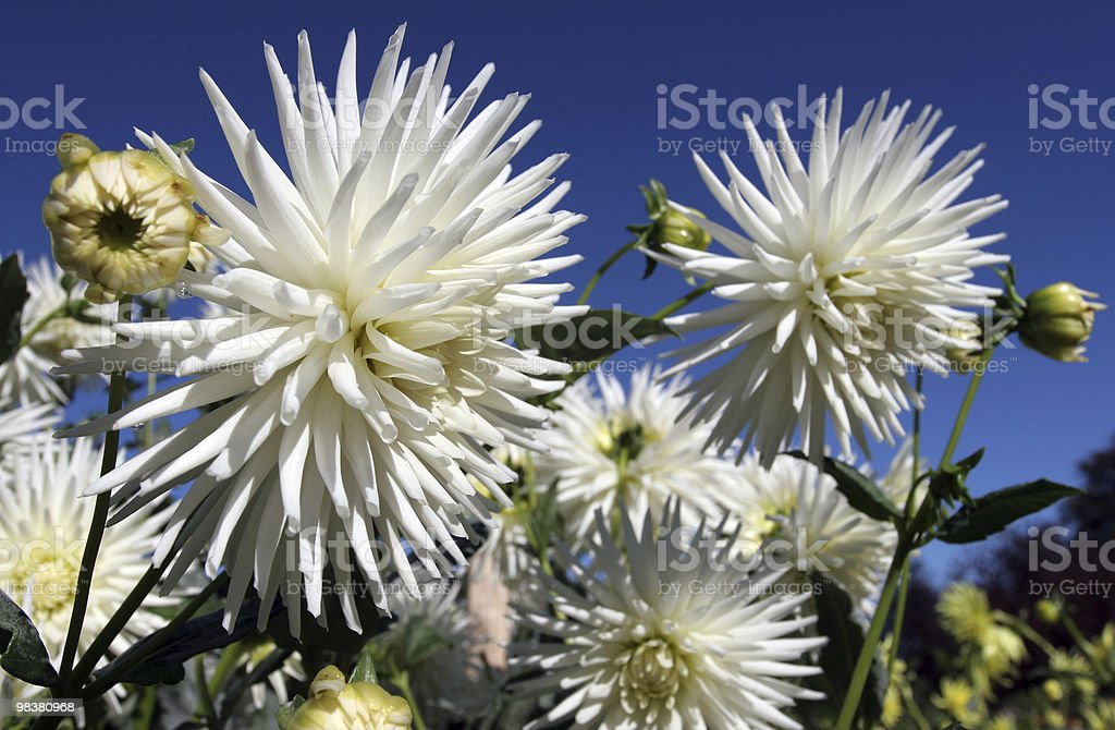 Dhalia royalty-free stock photo
