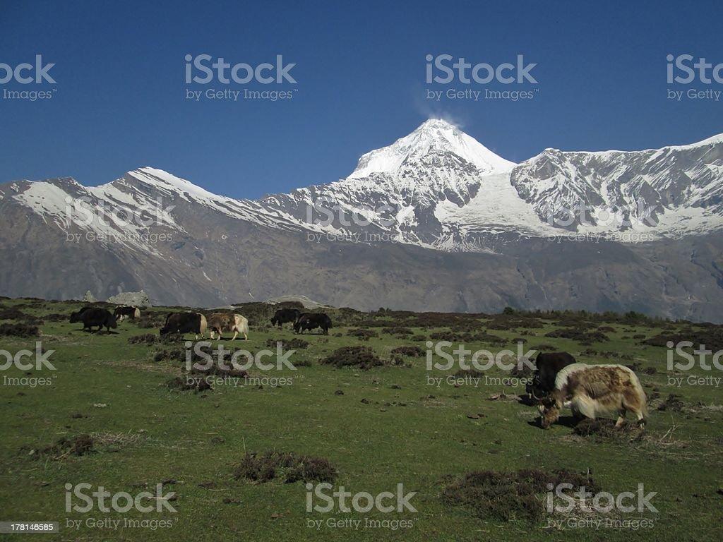 Dhaulagiri and grazing yaks royalty-free stock photo