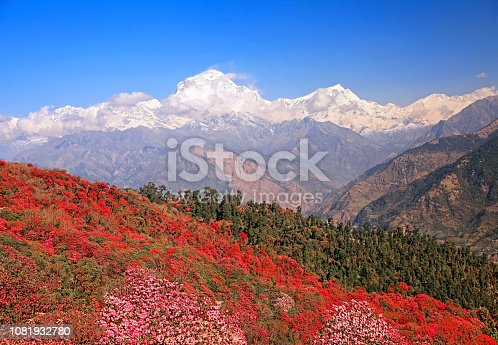 Greatness of nature. Blooming rhododendron grove on the background of the snow Dhaulagiri peak (8167 m) in the Himalayas, Nepal.