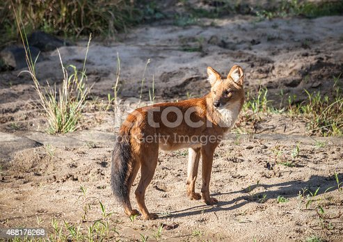 An alert wild Dhole, aka Indian Wild Dog,