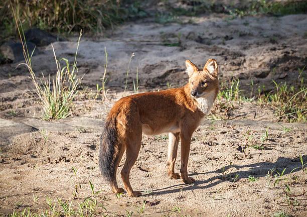 Dhole (Indian Wild Dog) Cuon_alpinus, Kanha National Park, India