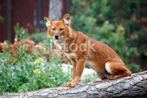 Dholes have a broad and unusual vocal repertoire.