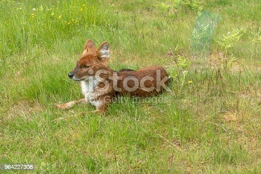 Dhole - wild dog sitting on grass