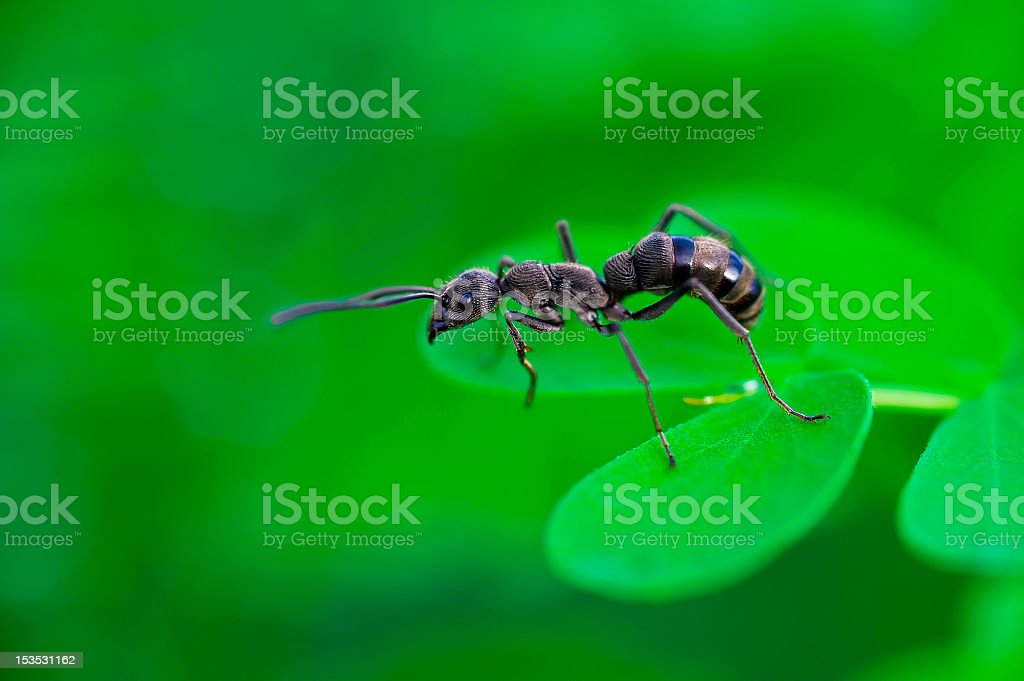Diacamma rugosum,Black ant royalty-free stock photo