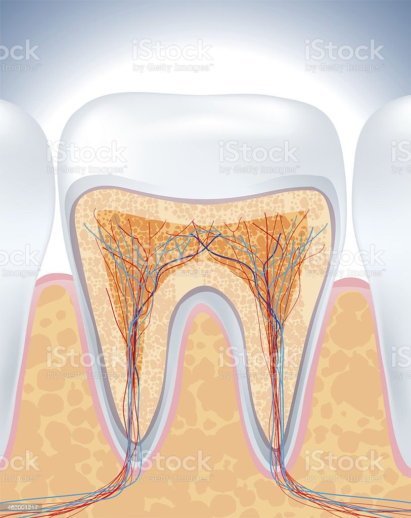 Diagram featuring the inside of a tooth stock photo