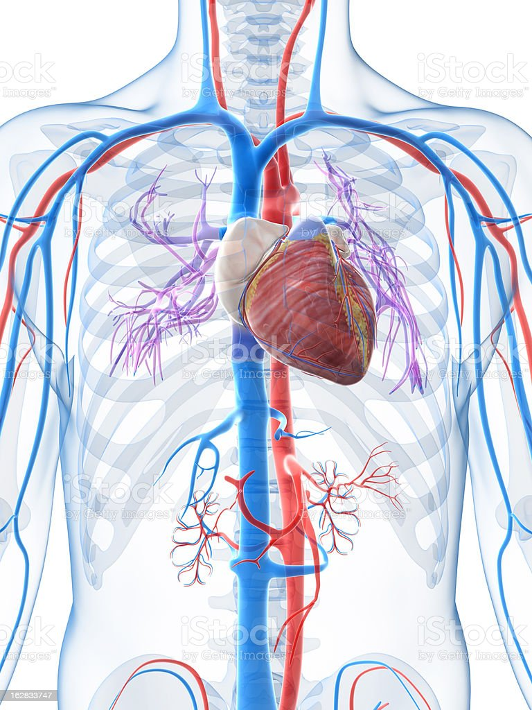 Diagram of the human heart and veins stock photo