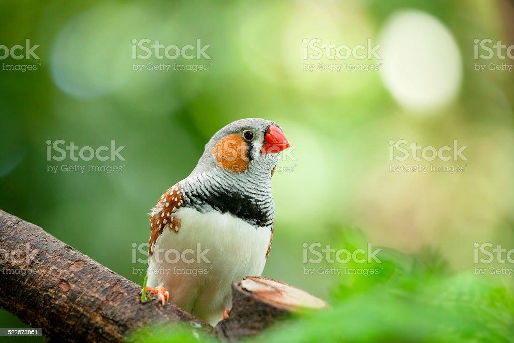 Diamantino Sparrow stock photo