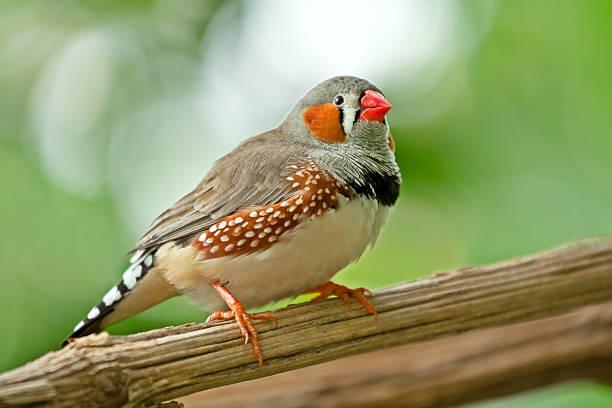 diamantino sparrow - zebrafinken stock-fotos und bilder