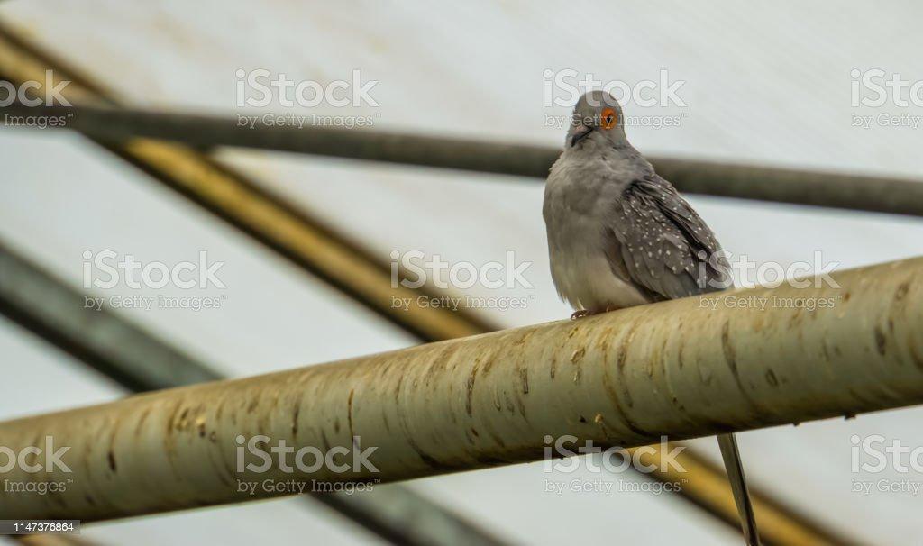 Diamond dove sitting the aviary, tropical pet from Australia, small...