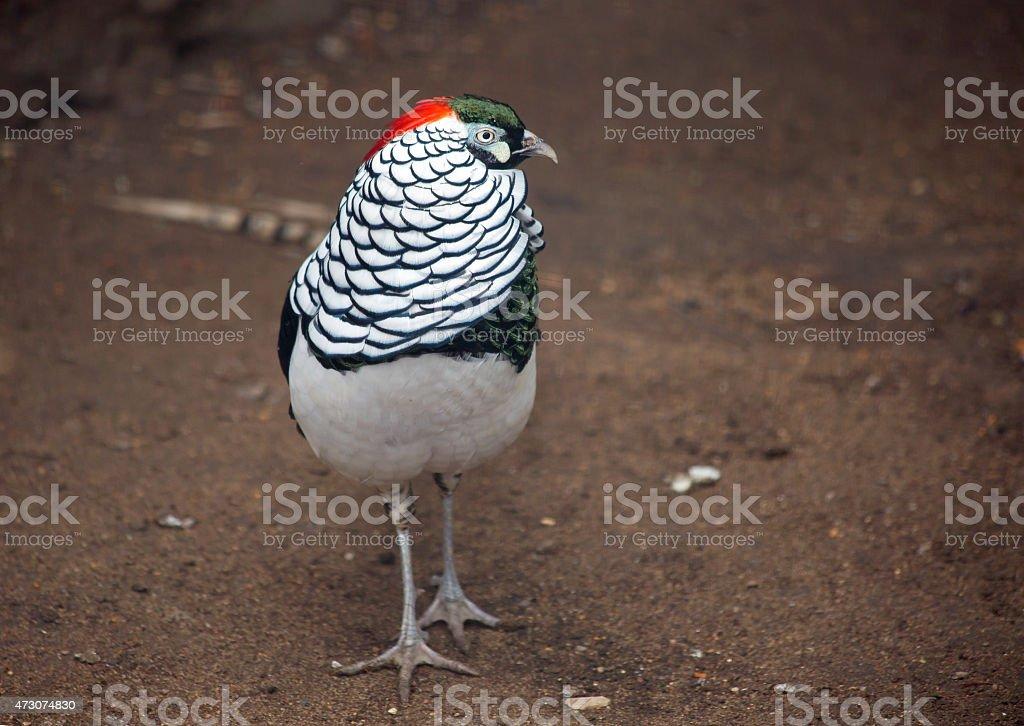 Diamond pheasant stock photo