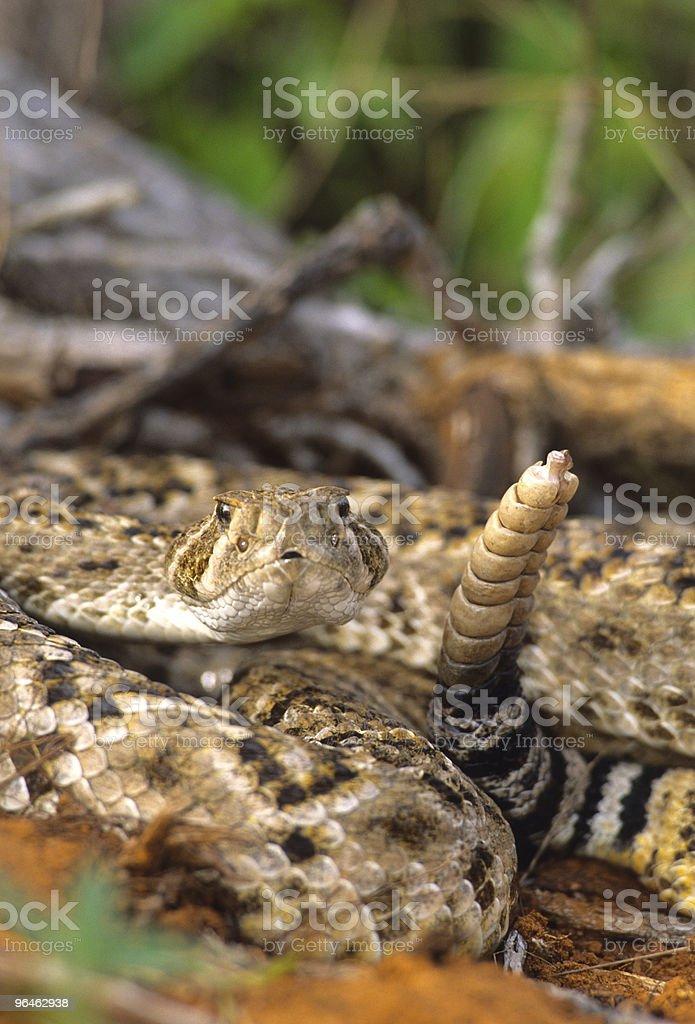 Diamondback Rattlesnake Coiled stock photo
