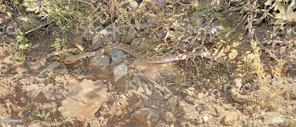 Diamondback Rattlesnake royalty-free stock photo