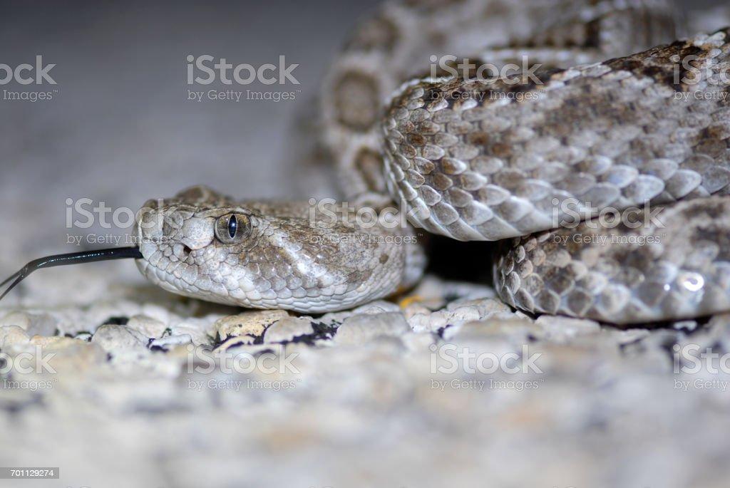 Diamondback Rattlesnake stock photo