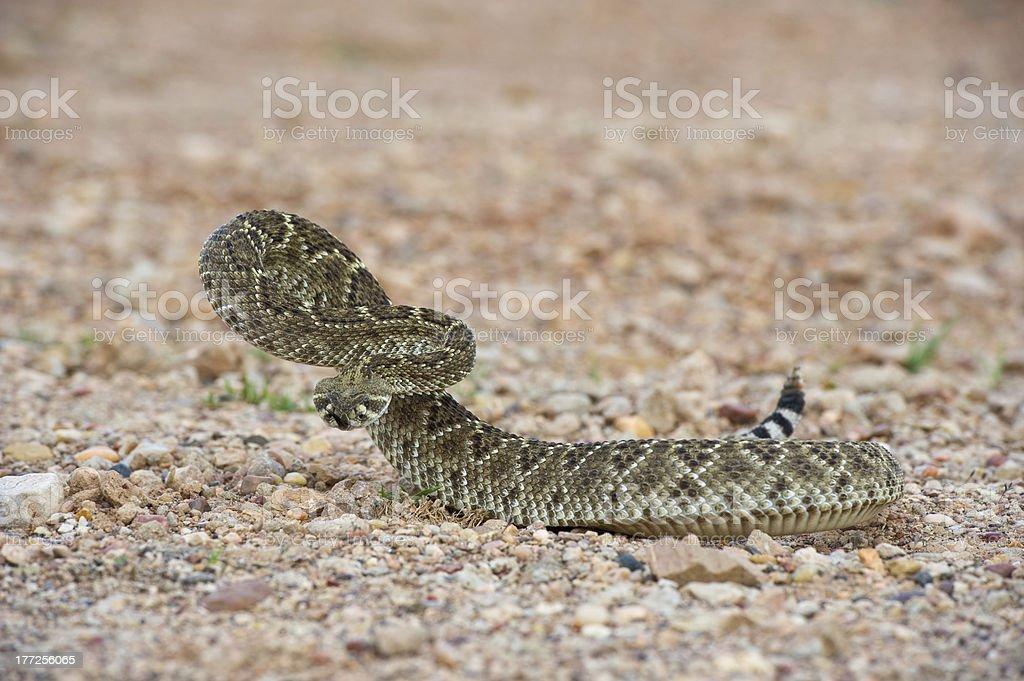 Diamondback Rattlesnake ready to strike stock photo
