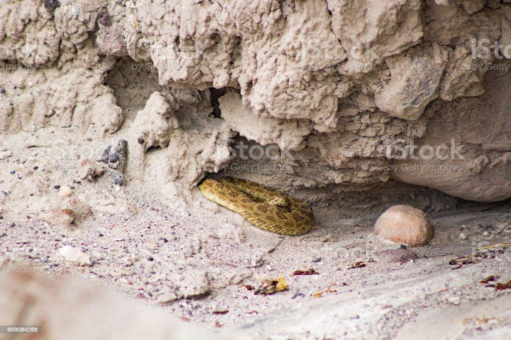 Diamondback snake coiled under a rock stock photo