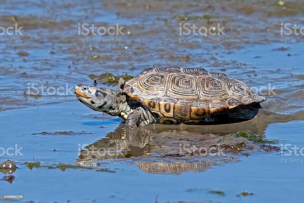 Diamondback Terrapin Turtle stock photo