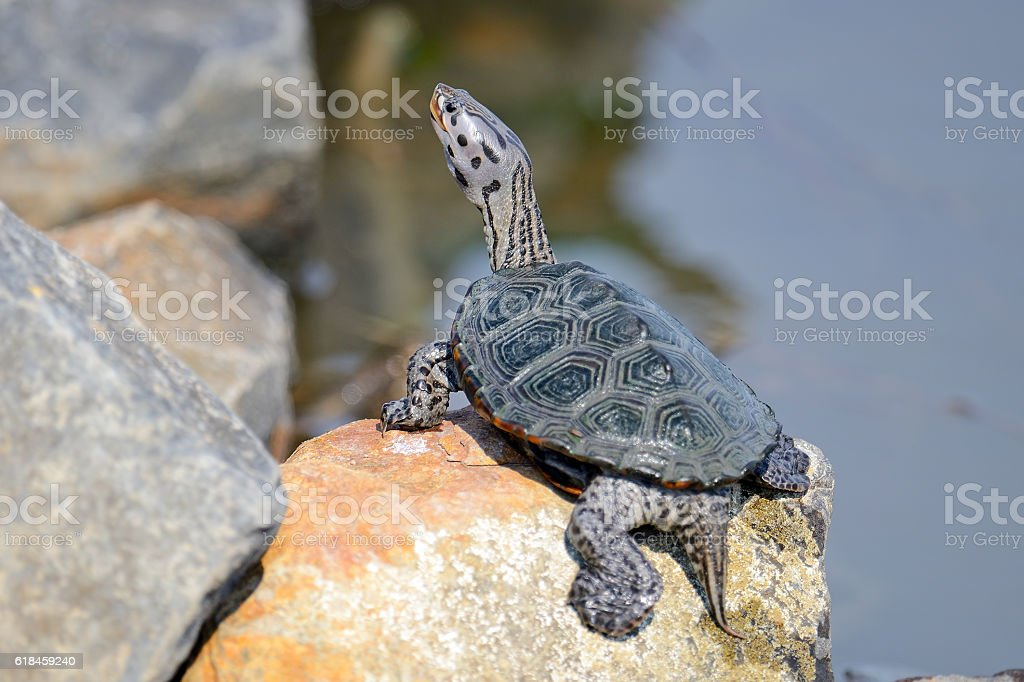 Diamondback Terrapin Turtle stock photo