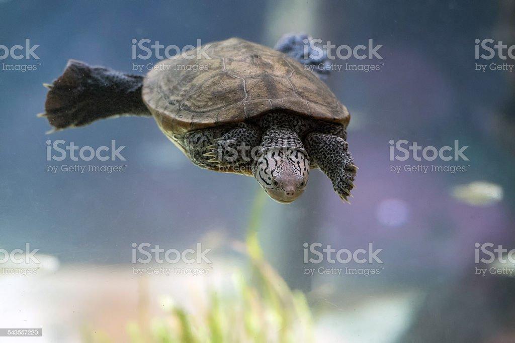 diamondback terrapin turtle swimming underwater close up stock photo