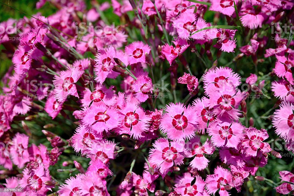 Dianthus allwoodii flowers stock photo