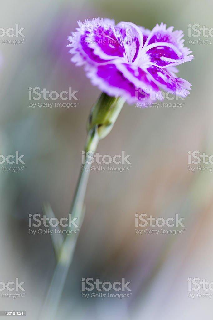 Dianthus barbatus or Sweet William flower royalty-free stock photo