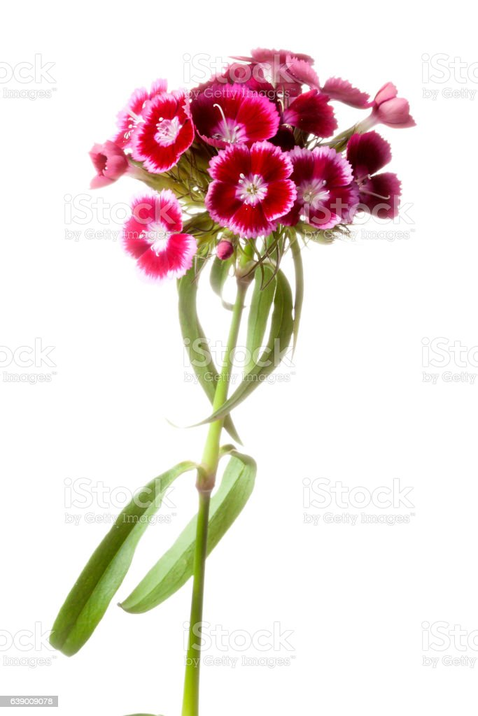 Dianthus barbatus or Sweet William stock photo