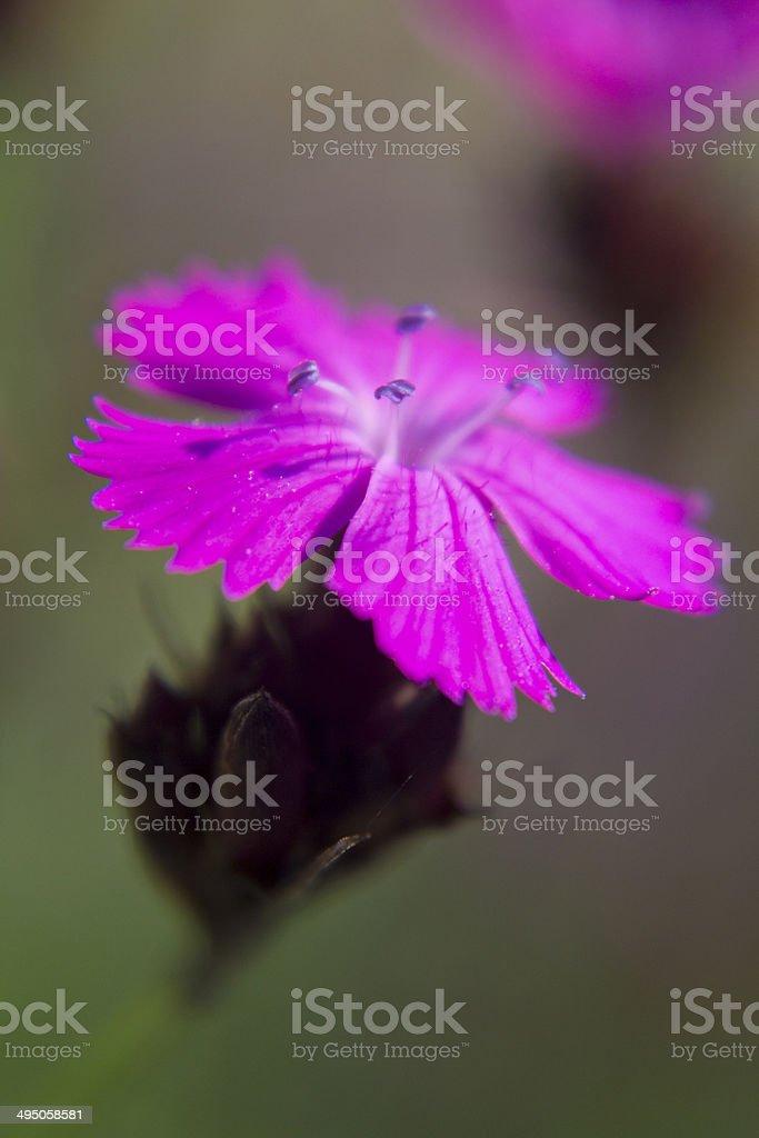 Dianthus carthusianorum stock photo