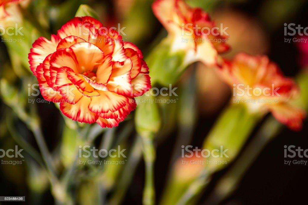 Dianthus caryophyllus stock photo