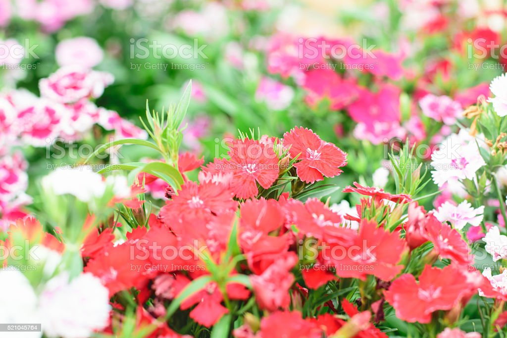 Dianthus chinensis flower stock photo