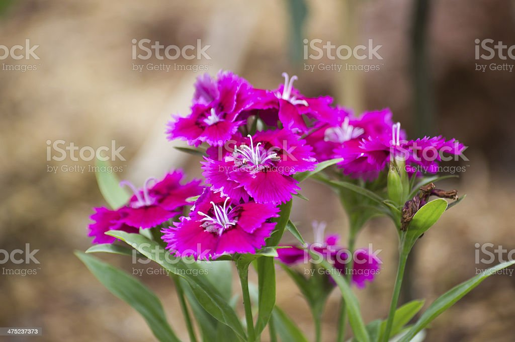 Dianthus chinensis royalty-free stock photo