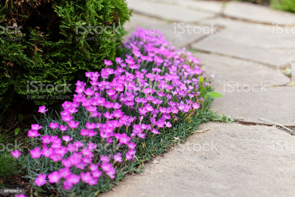 Dianthus deltoides, carnation pink flowers - ground cover plant for alpine hills in bloom. Selective focus stock photo