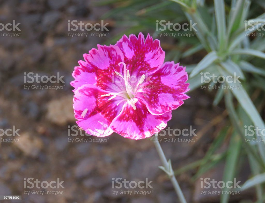 Dianthus flower macro or closeup on brown and green background stock photo