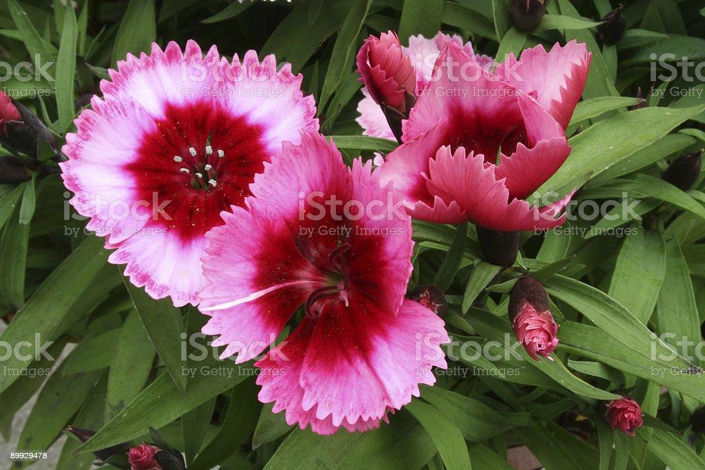 Dianthus flower stock photo