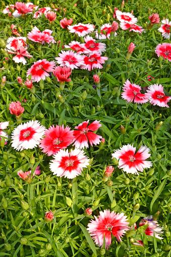 Dianthus Bloemen Closeup Stockfoto en meer beelden van Anjer