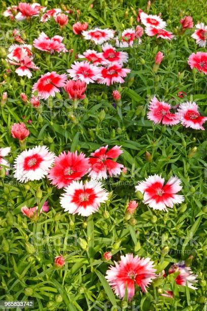 Dianthus Flowers Close Up - Fotografias de stock e mais imagens de Ao Ar Livre