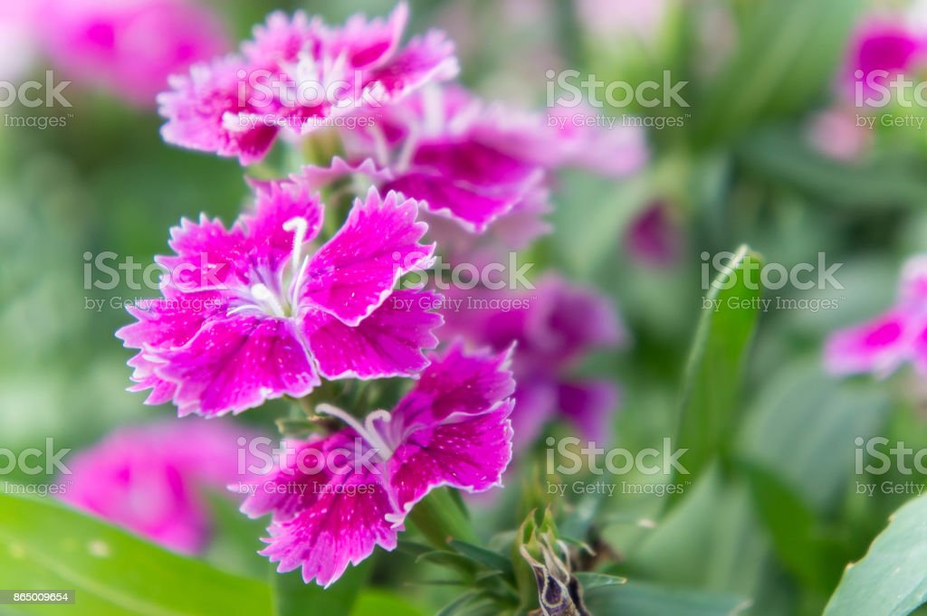 Dianthus flowers , colorful flowers daisy vivid flowers in the garden stock photo