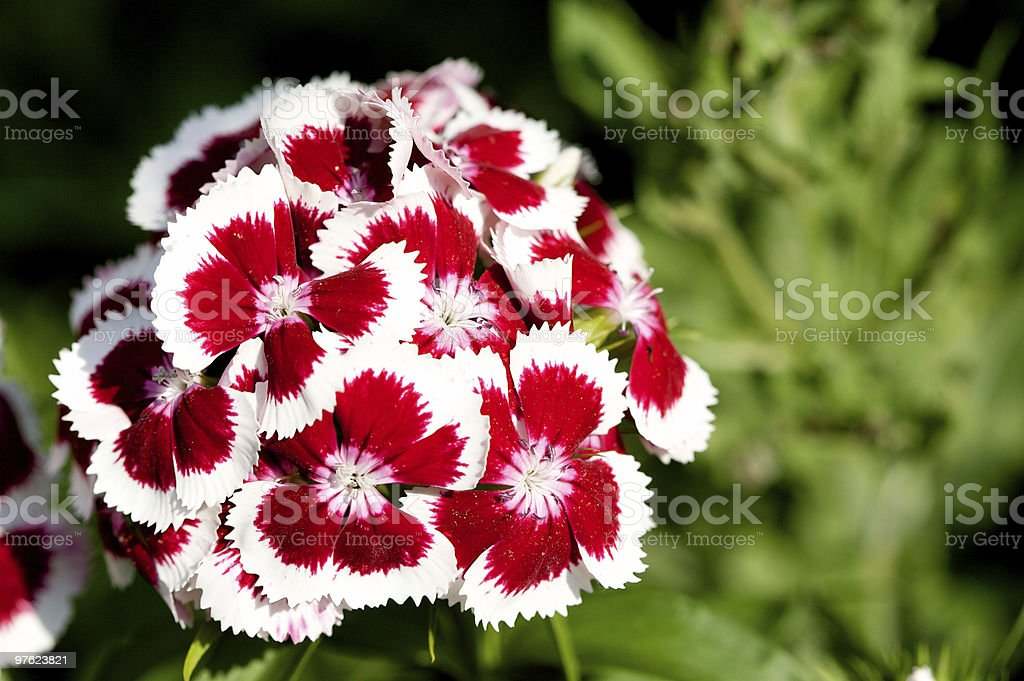 Dianthus flowers  (sweet william) royalty-free stock photo