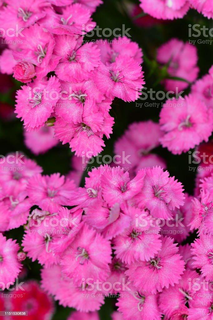 Dianthus/Fringed Pink Flowers - Lizenzfrei Baumblüte Stock-Foto