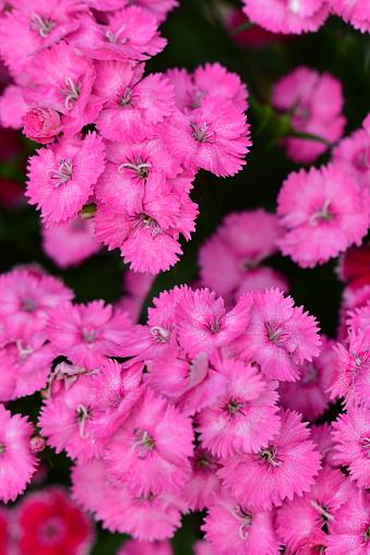 Dianthusfringed Pink Flowers Stockfoto und mehr Bilder von Baumblüte