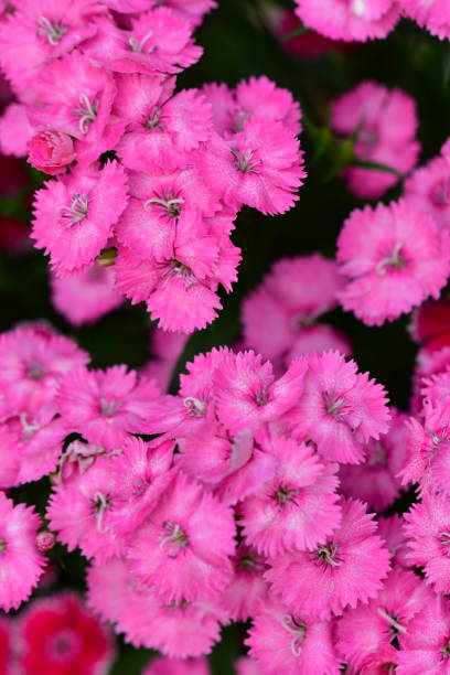 Dianthus/Fringed Pink Flowers – Foto