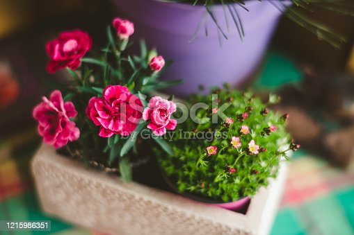 Dianthus in a flower pot