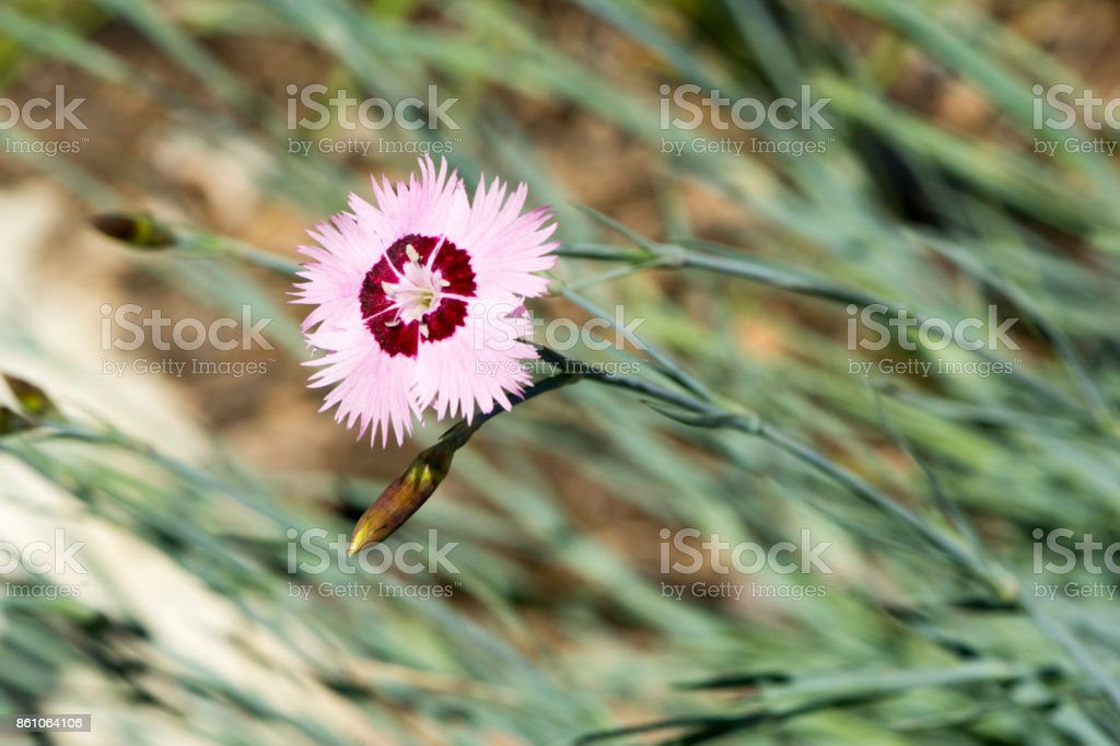 Dianthus Plumarius Cottage Pinks (Carnation) stock photo