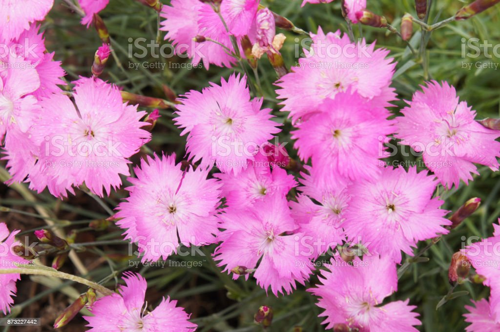 Dianthus repens or boreal carnation or northern pink many pink flowers stock photo