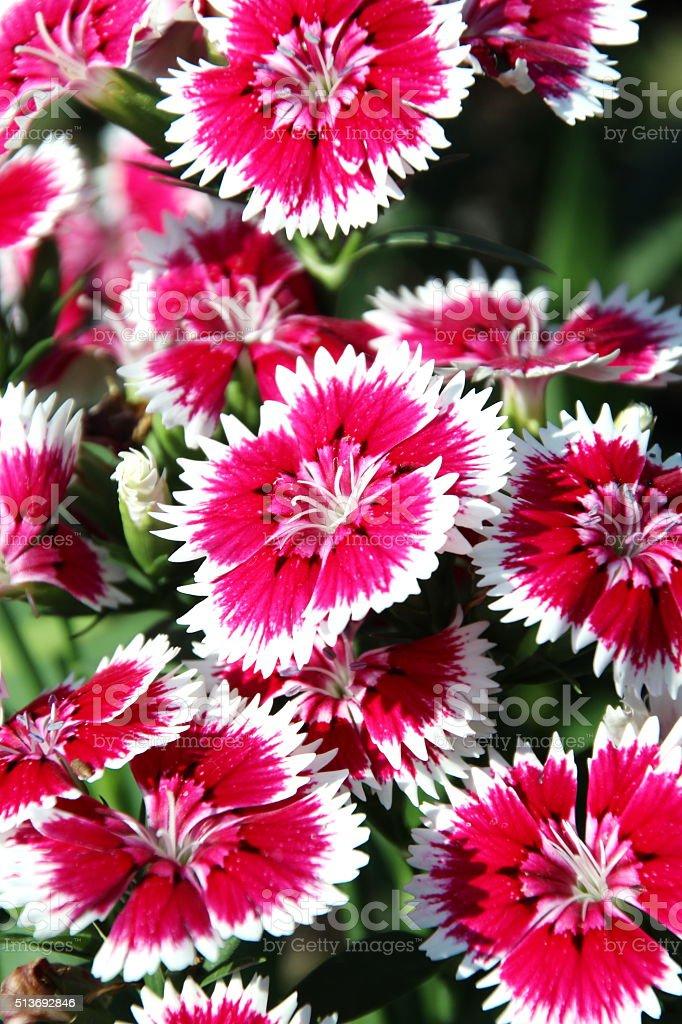 Dianthus, Sweet william stock photo
