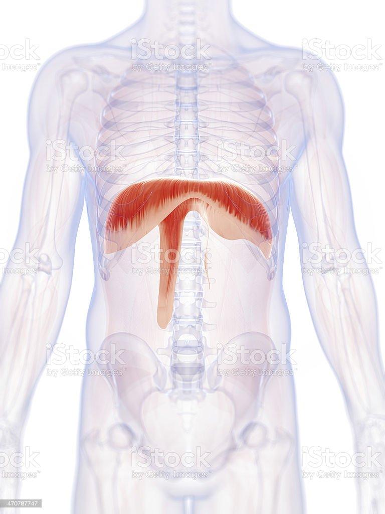 diaphragm royalty-free stock photo