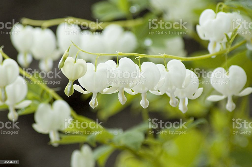 Dicentra Spectabilis Alba stock photo
