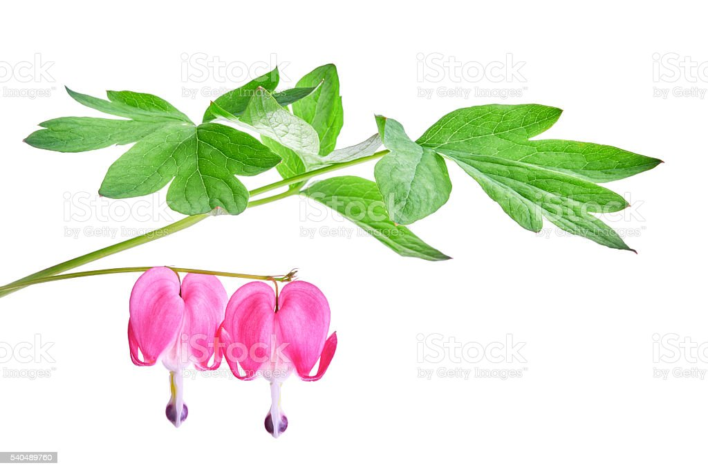 Dicentra spectabilis flower stock photo