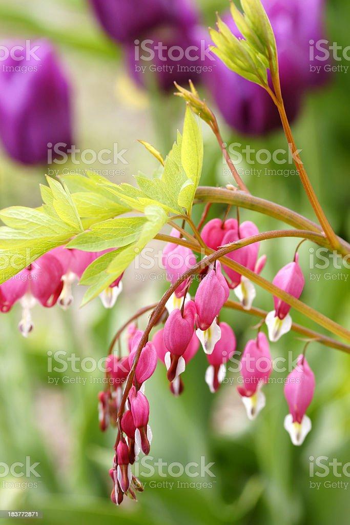 Dicentra spectabilis flowers stock photo