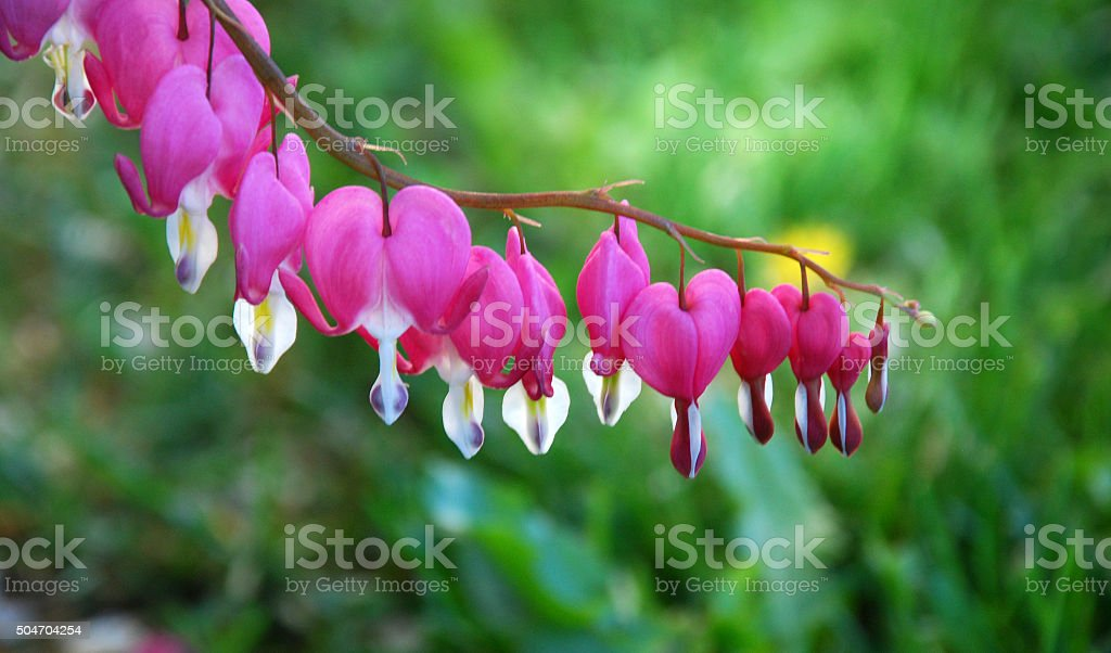 Dicentra spectabilis flowers stock photo